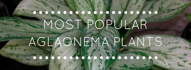 Most Popular Aglaonema Plants