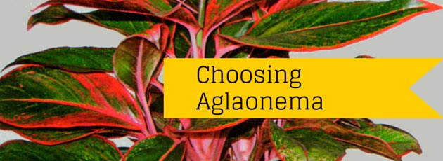 Choosing Aglaonema Commutatum