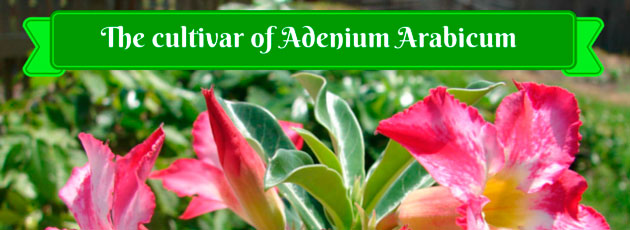 The cultivar of Adenium Arabicum