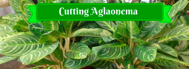 Cutting Aglaonema
