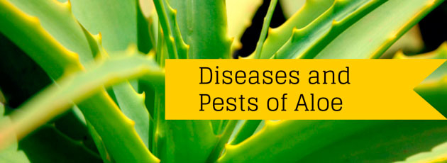 Diseases and Pests of Aloe