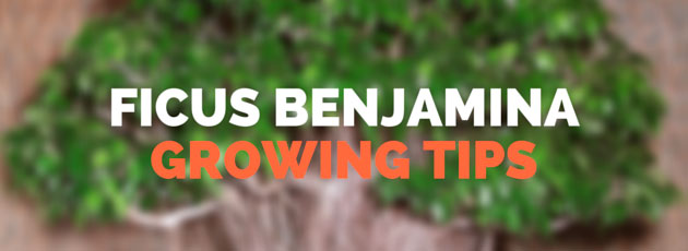 Ficus Benjamina growing tips