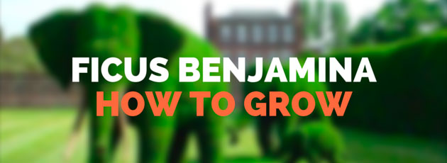 How to Grow Ficus Benjamina