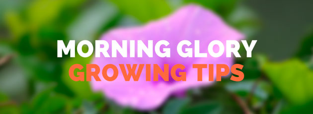 Morning Glory Growing Tips