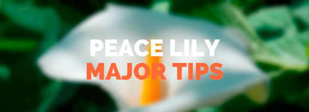 Peace Lily Major Tips