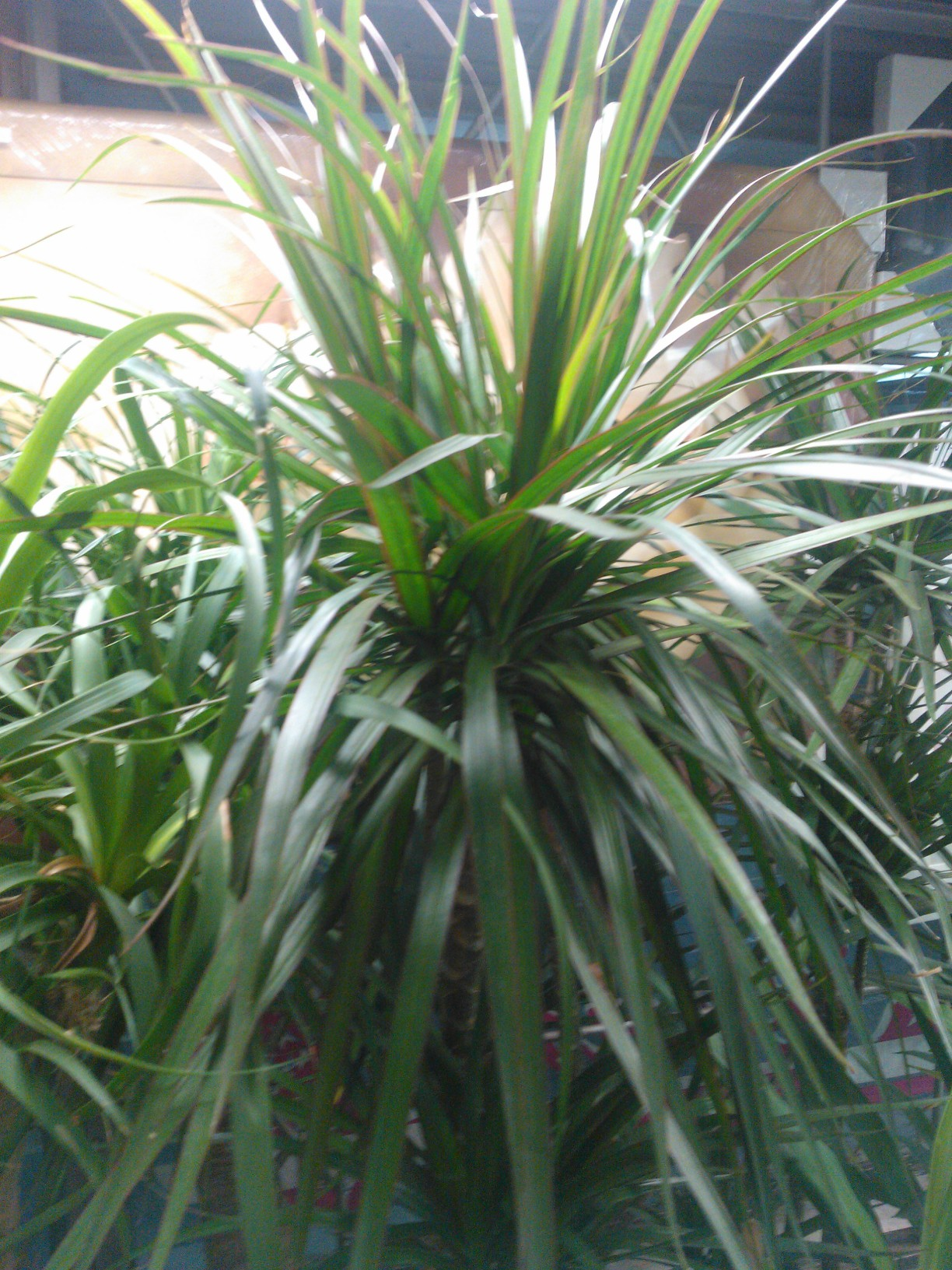 Dracaena plant care growing planting cutting diseases for Plante dracaena
