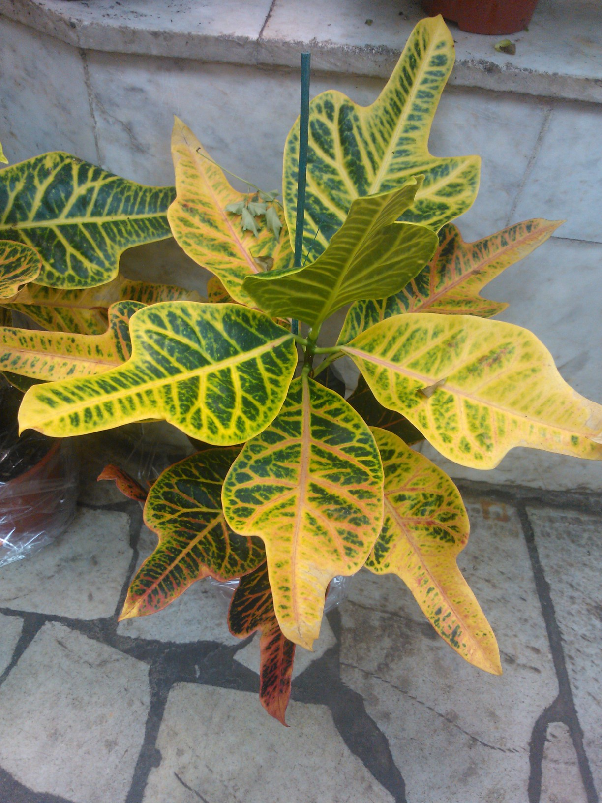 Croton Plant Care Tips Growing Planting Cutting Pruning Diseases Pests Leaves Seeds Add yellow to your garden to create a cheerful and serene environment. croton plant care tips growing
