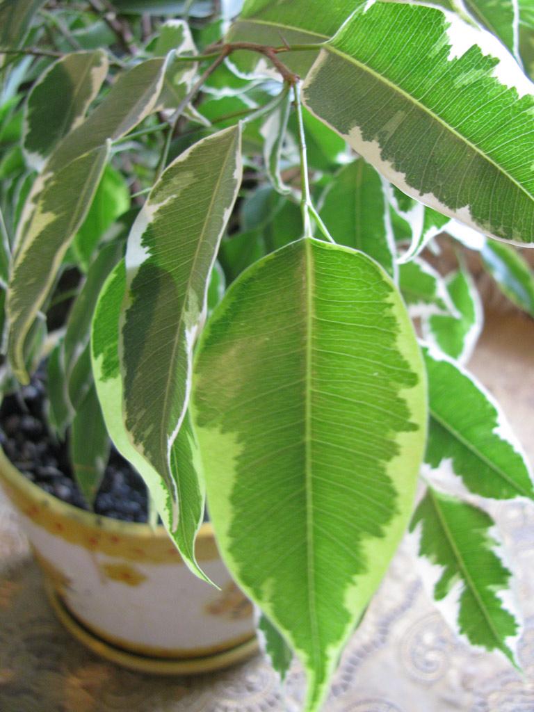 Leaves Pictures Ficus Benjamina
