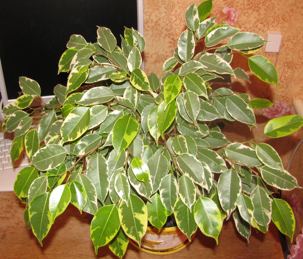 The Ultimate Ficus Benjamina Care Guide | 101 Tips