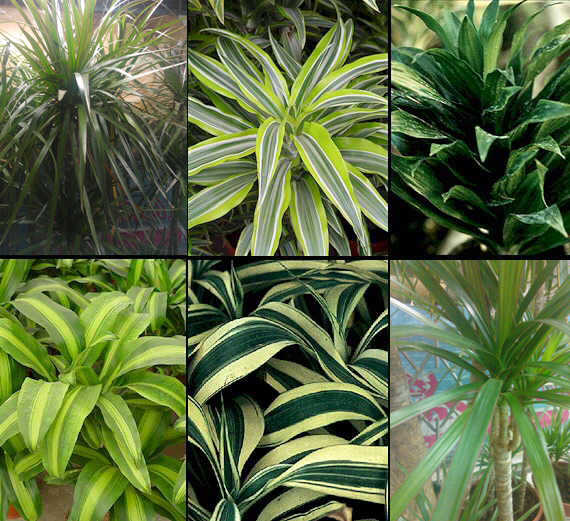 Dracaena Classification