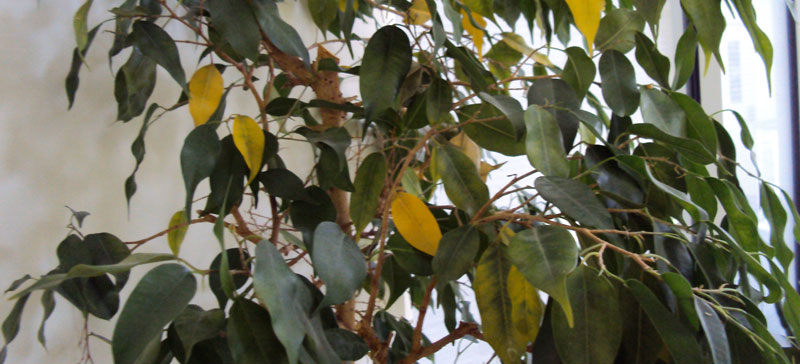 Communication on this topic: How to Prune a Ficus Tree, how-to-prune-a-ficus-tree/