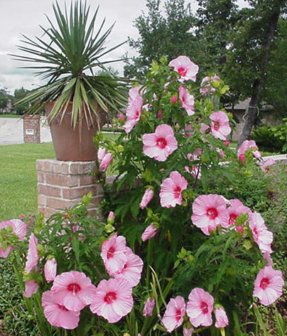 Hardy Hibiscus Shrubs To Decorate Your Garden Speaking Of Tropical