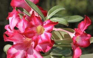 Adenium Cold Tolerance