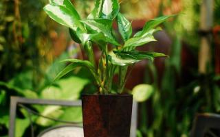 aglaonema cold tolerance