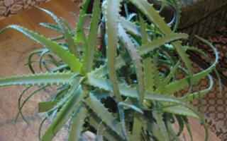 Aloe Juice a Safe