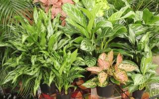 cultivate aglaonema