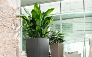 lighting for aglaonema