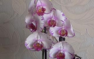 phalaenopsis orchid white purple