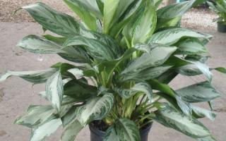 revision of the genus Aglaonema
