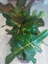 croton green leaves picture