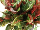 Aglaonema Sunset
