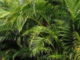 Areca Palm Pests and Diseases