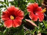 the best type of soil for hibiscus