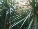 photo of History of the Dracaena Appearance