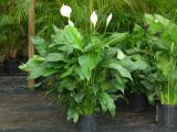 Spathiphyllum Poisonous to Dogs pictures