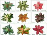 what is aglaonema